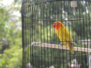Sun Conure bird in bird cage