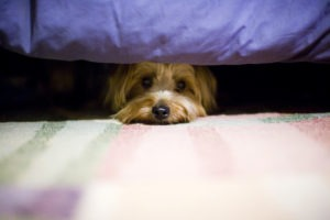 Terrier dog hiding under a bed