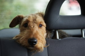 Dog waiting in car looking through seat