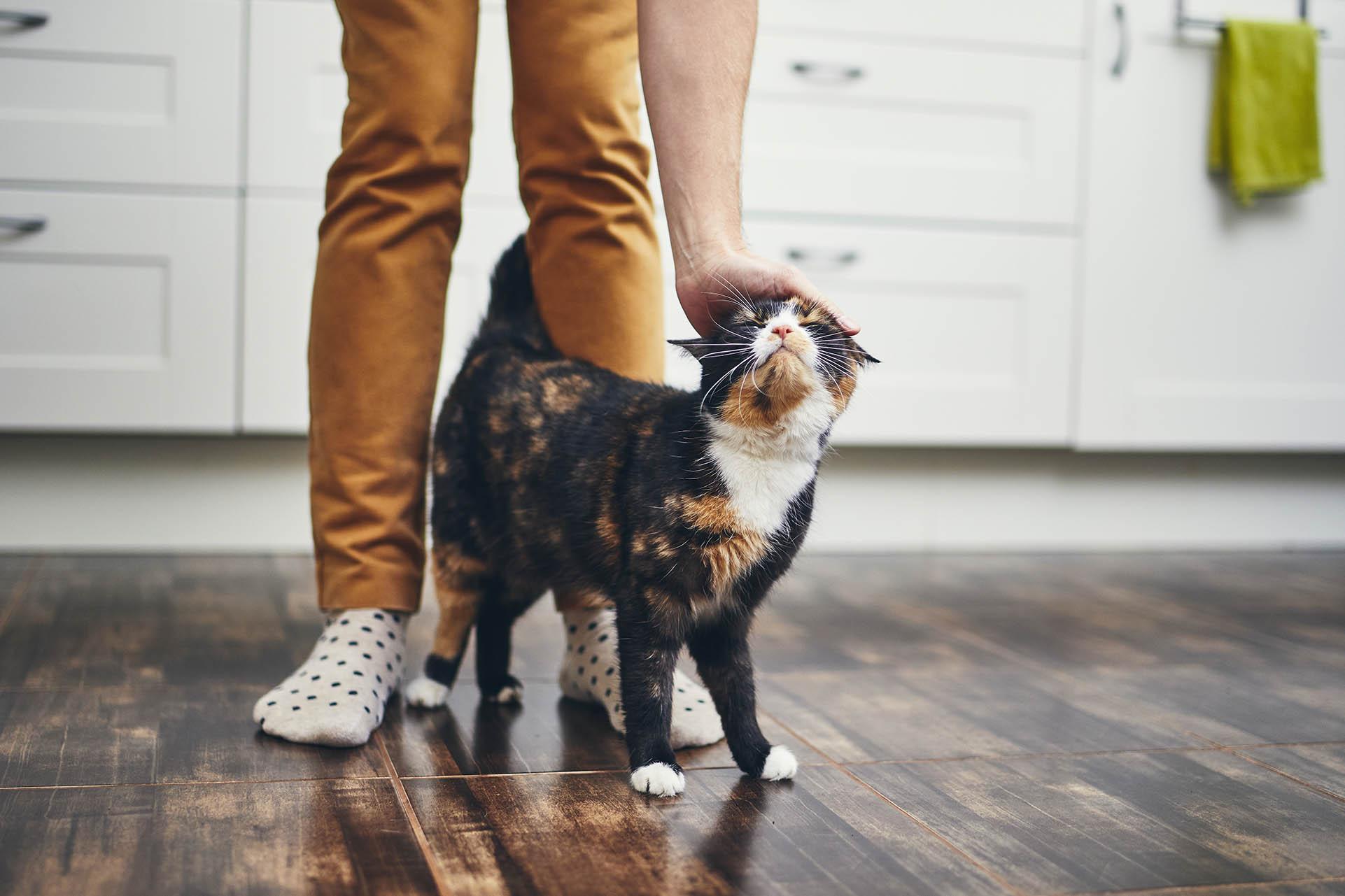 Cat on hardwood floor in kitchen getting pets