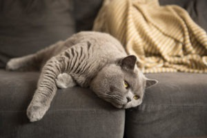 British Short Hair cat lying on couch with paw hanging out